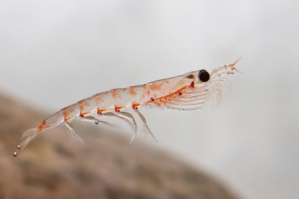 What are krill_1000px